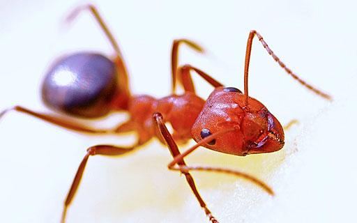 O controle de formigas é importante para a sua saúde