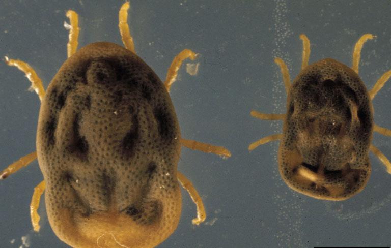 Carrapatos - Família Argasidae