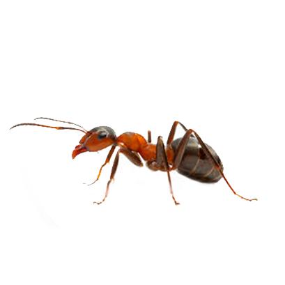 Dedetização de formigas em Recife - Pernambuco