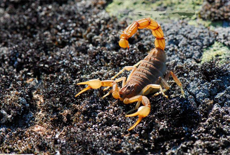 Escorpiões: Aumenta o número de ataques nos centros urbanos
