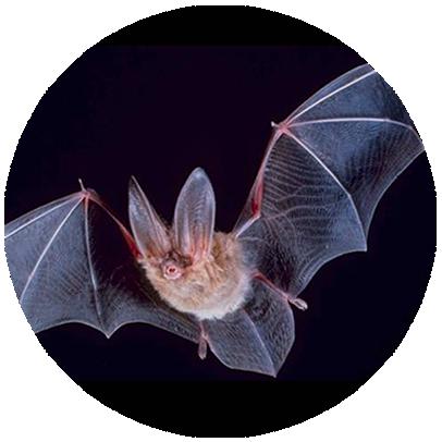 manejo de morcegos em Recife - Pernambuco