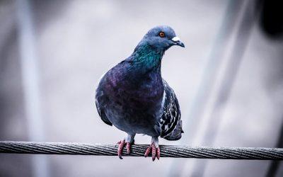 Controle de Pombos: Como funciona o serviço?