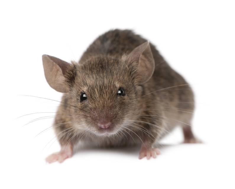 Evite flagrante de rato como na enfermaria de Hospital no Recife com a desratização