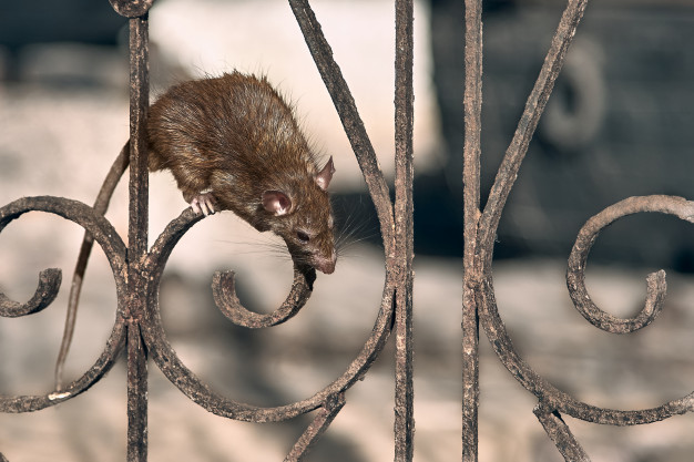 Ratos - Dedetização e Desratização